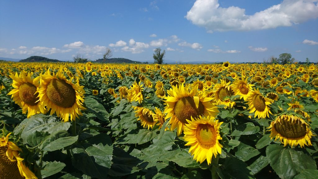 zonnebloemen in Italie!